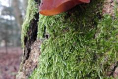 Træ-med-svampen-Judasøre